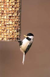 Chickadee on Peanut Feeder