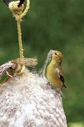 goldfinch with cotton ball
