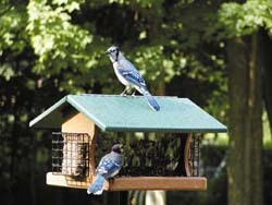 BLUE JAYS ON RECYCLED RANCHETTE FEEDER