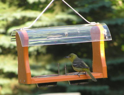 Orchard Oriole (female) on Recycled Oriole Feeder