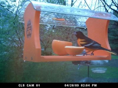 Baltimore Oriole on Recycled Oriole Feeder by Lucie Crocker