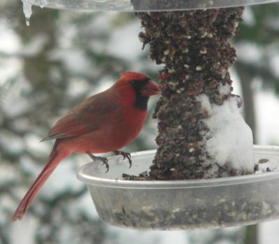 Cardinal on Dinner Bell w/ Cranberry Fare by Joan Elevich