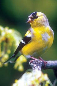 Goldfinch Molting in Fall